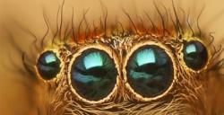 Örümceklerin gözleri kameralara ilham veriyor