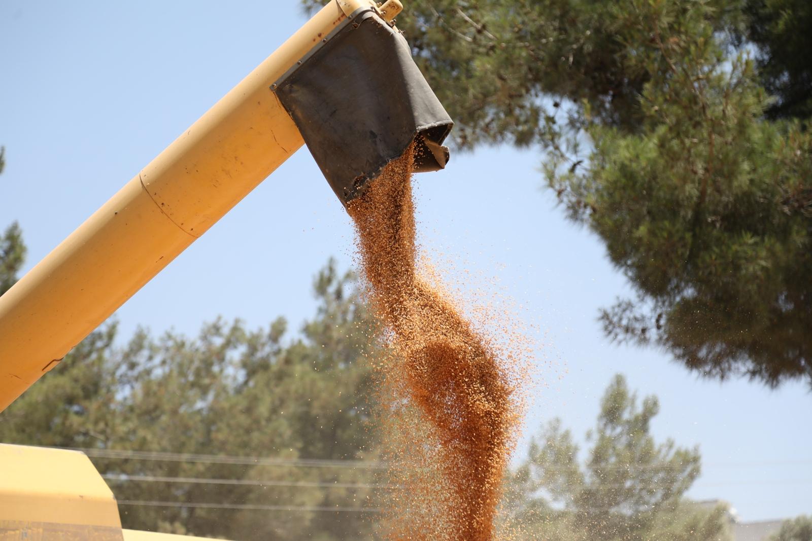 Bodrumda'da hasat zamanı