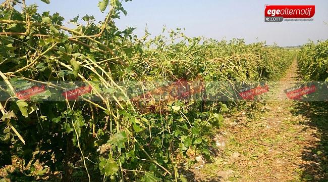 Manisa'da şiddetli yağmur üzümleri vurdu