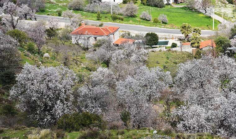 Marmaris'te badem ağaçları çiçek açtı
