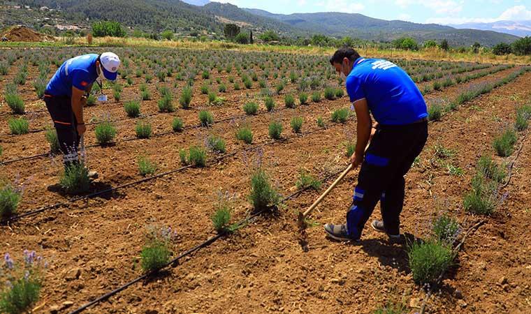Üreticiye 32 bin aromatik bitki fidanı dağıttı